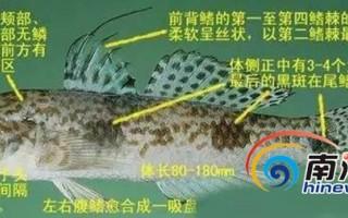 三亚两市民误食虾虎鱼中毒 该如何分辨有毒虾虎鱼?