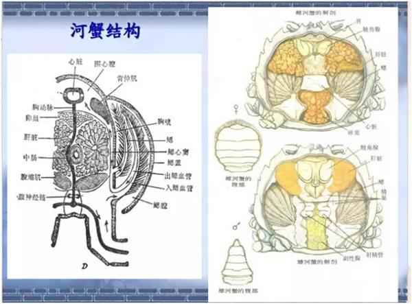 河蟹结构图