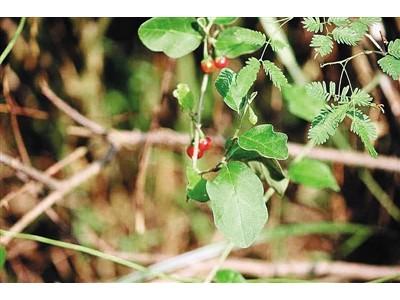 中国药科大学科研人员发现南茄可抑制肝硬化