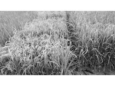 """""""带开关""""水稻可抗多种疾病 可控免疫系统有望使农作物增收"""