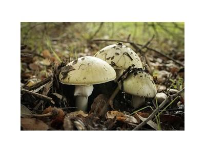 旧金山湾区14人误食野生毒蘑菇 重者需肝脏移植