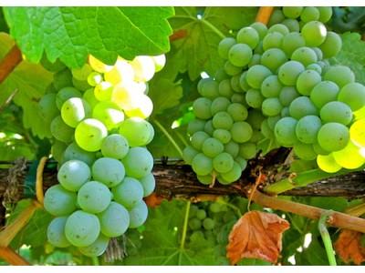 2017年新西兰葡萄减产9% 影响来年出口