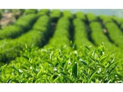 华福茶厂生产不规范登黑榜
