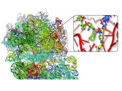 病毒如何击败抗生素 澳对金黄色葡萄球菌进行研究