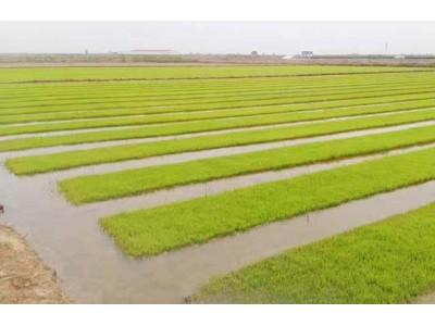 青岛海水稻长势喜人 10月底丰收后市民可尝鲜