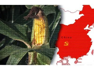 中国再次批准进口两种转基因作物 先正达孟山都获益
