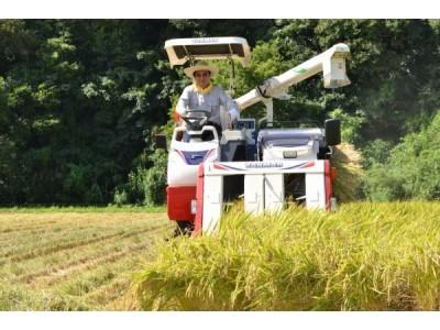 日本熊本天草的早稻米进入收获期 比普通大米提前2个月