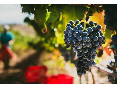 西西里和撒丁岛2017葡萄收获季于7月26日开始