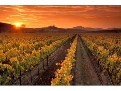 美国专家:截止2050年,适合种植葡萄的土地可能会萎缩23%