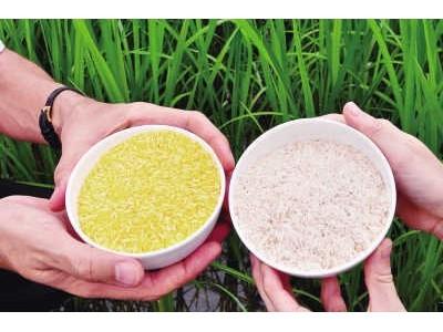 国际水稻研究所:黄金大米或于2020年前大规模商业化种植