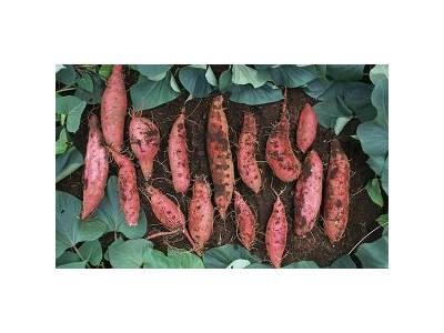 中德科学家揭示甘薯起源:源自二倍体和四倍体祖先种种间杂交