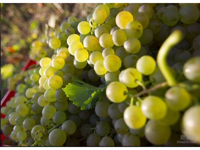 阿斯蒂Asti的莫斯卡托Moscato葡萄预计减产超过5% 但品质大幅度提升