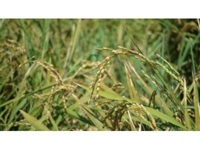 """今年沪上收割的""""第一镰""""稻米 在日本竟是寿司专用米"""