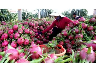 越南火龙果获批准入澳大利亚市场