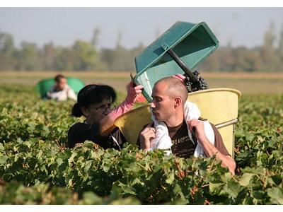 波尔多开始葡萄采收 迎来历史最早收年份