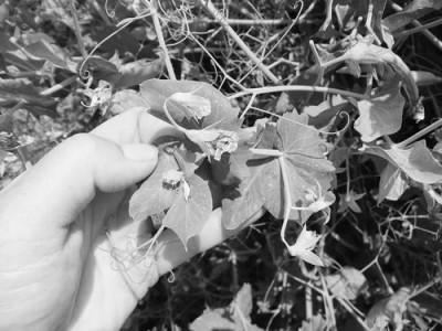 开花久结荚多的豌豆更耐热