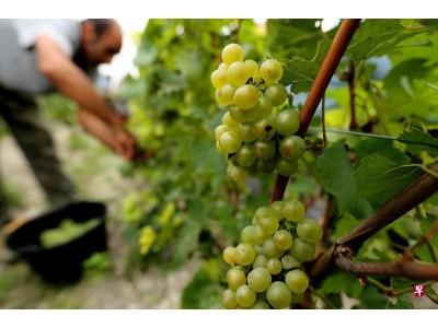 异常天气或令德国今年葡萄酒减产