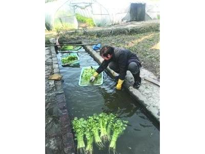 上海郊区菜农用水槽脏水浸洗采摘后蔬菜