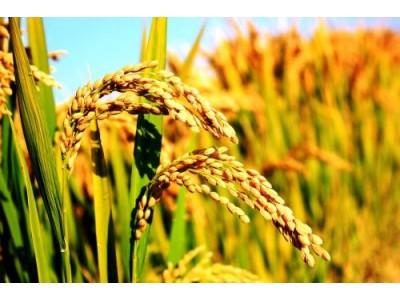 我国转基因抗虫水稻获美国食用许可