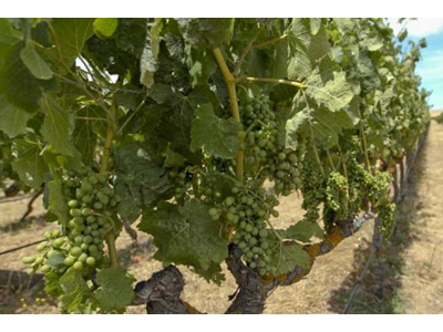 新西兰Montana酒庄被曝采用澳大利亚葡萄酿酒