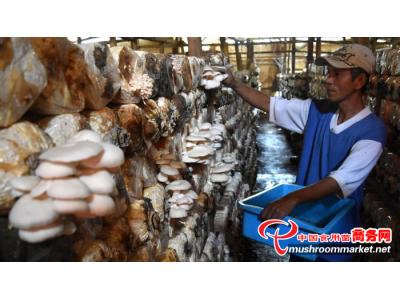 印尼:平菇功能性食品火热研发中
