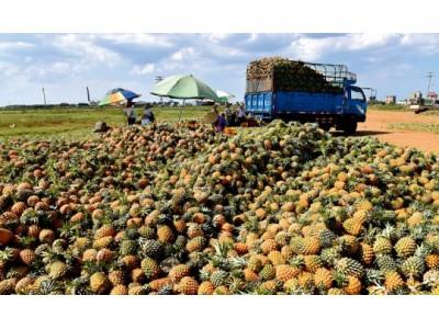 同县菠萝差价竟达60倍!农产品滞销根源是啥?