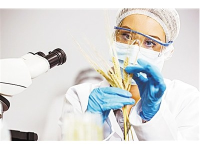 """小麦基因组测序 为第三代育种绘制""""高清地图"""""""