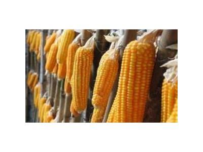 新疆非法转基因玉米案:四被告获刑,近三千亩涉案玉米被铲