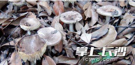 它有剧毒却与食用蘑菇长得很像 7至9月长沙多人误食中毒