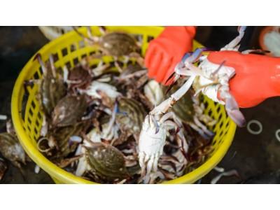 网传商贩在螃蟹中注入人造鸡蛋,这种赔钱的事也有人干?