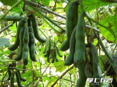 长沙一男子上吐下泻进了医院,只因生吃了两颗这种豆……