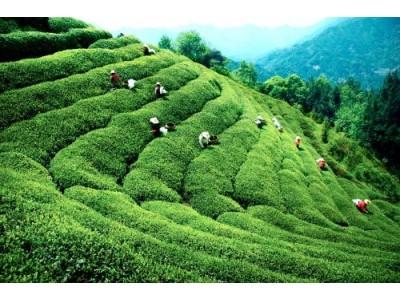 我国出口绿茶被检出含农残