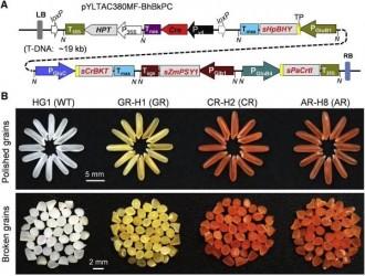 """转基因""""虾红大米""""在中国研制成功,受第二代黄金大米启发"""