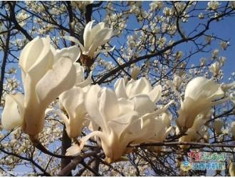 """三月春花好看又好吃?吃货""""吃花""""需谨慎"""