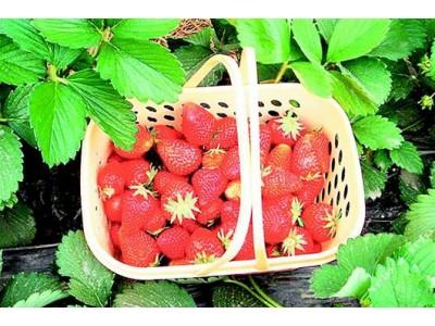 形状怪、个头大的草莓能吃吗?