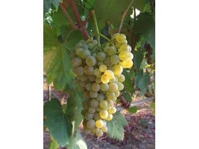 法兰吉娜Falanghina :被时光低估的意大利南部白葡萄品种
