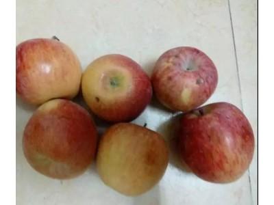 三次买到烂苹果!昂贵的糖心苹果其实是病果?如何安全食用?