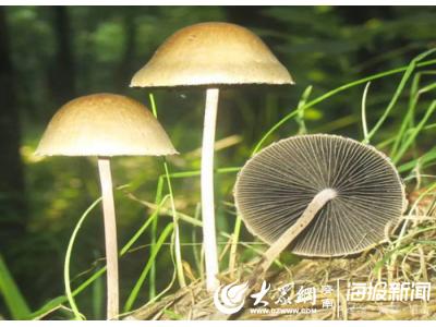 """警惕长在便便上的蘑菇,专家提醒不要用生命去尝""""鲜"""""""
