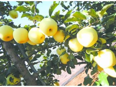 西北农林科大苹果新品种通过国审