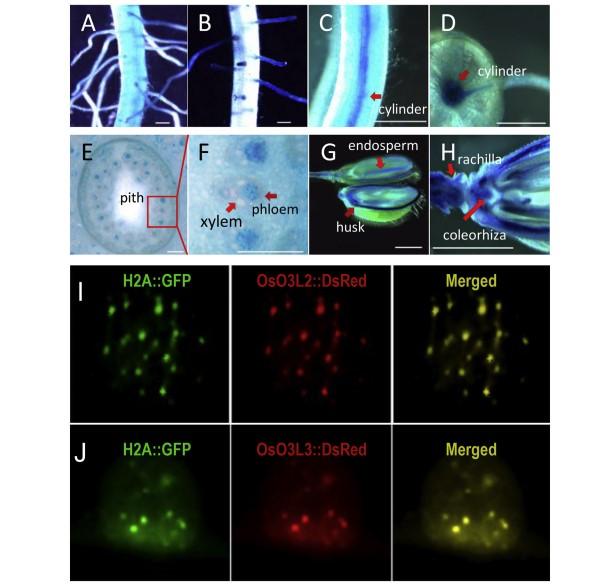 鉴于获取组成型过表达OsO3L2和OsO3L3全长基因的植株非常困难,所以在以往的试验中并未涉及相关的功能研究,为了检验OsO3L2和OsO3L3截短序列的抗镉功能是来自该基因本身,还是源自人为截短基因,最近王昌虎等尝试用诱导性表达的方式对这两个基因的全长序列进行了功能研究。结果表明,跟截短序列一样,过表达OsO3L2和OsO3L3全长序列可以在不影响锰、铁、铜和锌等重要金属元素的含量下,明显降低米粒中的镉含量 (图1),这便明确了水稻抗镉功能是来自于这两个基因的本身。同时也发现全长基因的表达转化率显