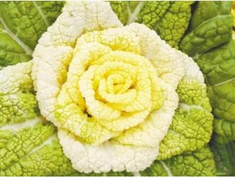 """维生素含量高 新品白菜形似""""黄玫瑰"""""""