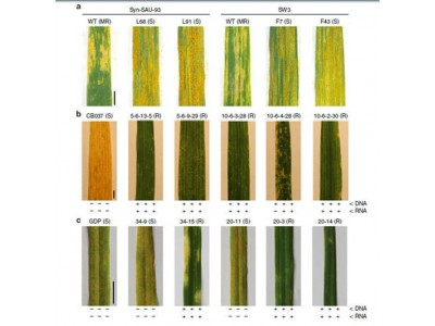 科学家找到小麦抗条锈病新基因