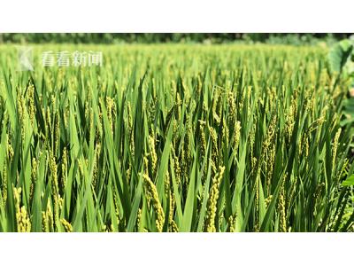 上海:芯片上选育佼佼者 绿色超级稻育种世界领先