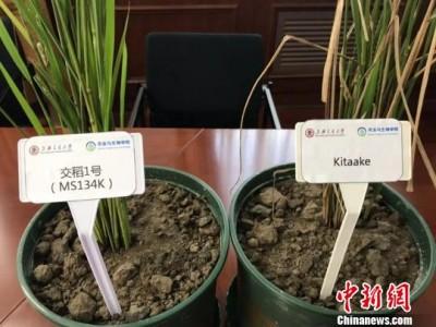 上海学者开辟水稻广谱抗病育种新途径
