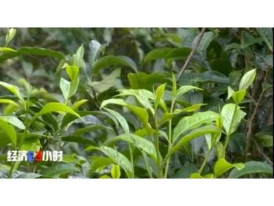 """央视曝""""古树茶""""乱象:普通茶披个包装就成古树茶,价格翻几倍!店家:能看出来就见鬼了…"""