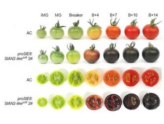 遗传发育所等揭示栽培番茄不含花青素的机理并创制出果肉中富含花青素的番茄材料