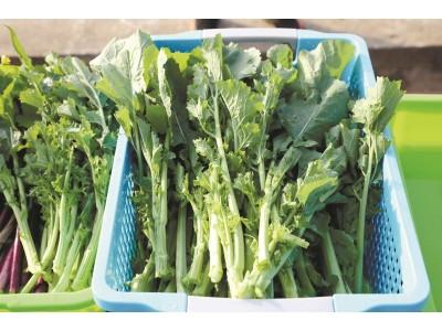 """湖北科研团队研发出全球首个硒高效蔬菜杂交种,补钙不用狂喝奶 试试这款""""绿菜薹"""""""