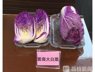 市民餐桌又添新品种 紫色大白菜有点炫