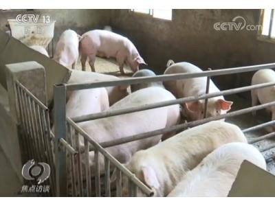 焦点访谈丨全国生猪生产开始探底回升 来看这些养殖户们的致富秘诀