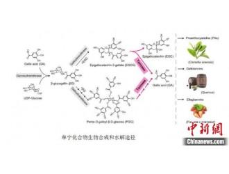 """安徽农业大学发现""""涩味""""水解关键基因"""